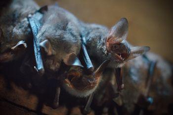 """""""Noč netopirjev"""" v okviru Mednarodne noči netopirjev in projekta KRAS.RE.VITA"""
