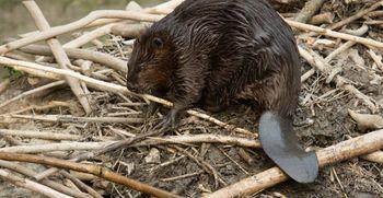 V ZOO Ljubljana počitnice začenjamo z odprtjem nenavadnega bobrišča
