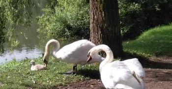 Zakaj ne hranimo vodnih ptic