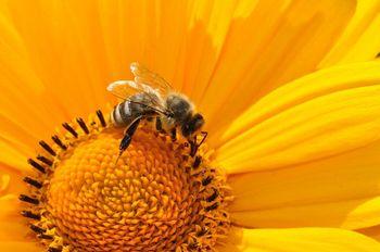 Potreba čebel po hrani