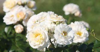 Ali ste vedeli: koliko vrtnic Ljubljana krasi naše mesto