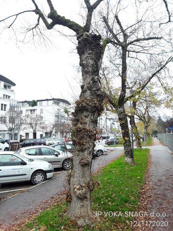 Urejamo za vas: poškodovana drevesa v Peričevi ulici bomo nadomestili z novimi
