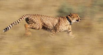 Nova spoznanja o gepardih rešujejo živino