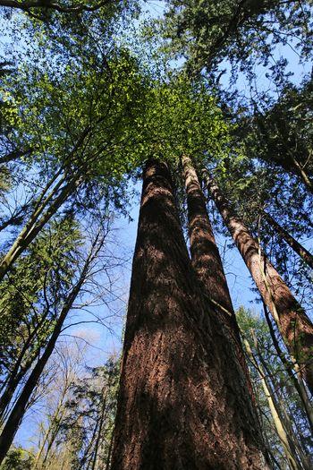 V Mestnem gozdu raste najvišje izmerjeno drevo v Sloveniji