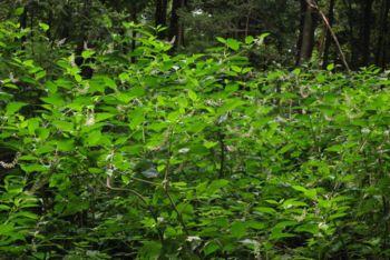 Zdaj je pravi čas za odstranjevanje rastlinskih invazivnih tujerodnih vrst