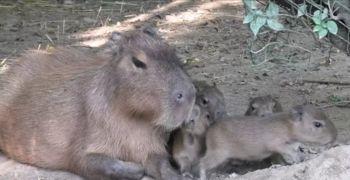 Video: Bobri in kapibare so dobili mladičke