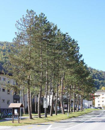 Čiščenje drevoreda v Kisovcu