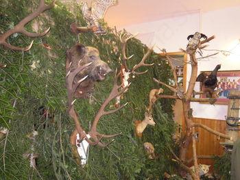 Razstava lovskih trofej odvzete v Pohorskem LGB v letu 2015