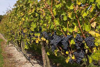 Obvestilo vinogradnikom in vinarjem
