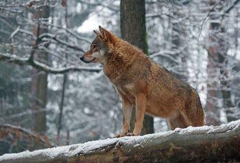 O volkovih, škodi na živini in kako jo preprečiti