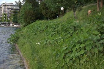 Pisarna za informiranje občanov o načinih odstranjevanja in tretiranja ostankov tujerodnih invazivnih rastlin