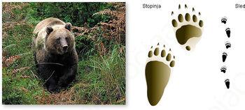 Rjavi medved v lovišču LD Šentrupert