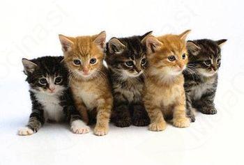 Javni poziv za sterilizacijo in kastracijo mačk v Občini Horjul v letu 2016