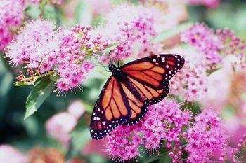Mavrični metuljčki