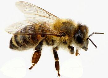 Odločba: Huda gniloba čebelje zalege – zapora območja