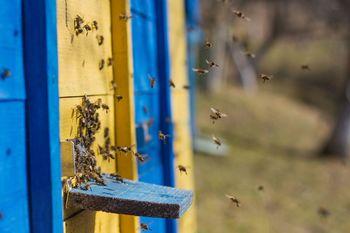 Huda gniloba čebelje zalege – odločba