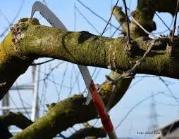 Povabilo: Naučimo se obrezovati visokodebelno sadno drevje