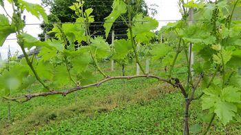 Prikaz zelenih del v vinogradu