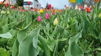 100.000 tulipanov ob 25. obletnici javnih podjetij