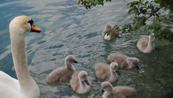 Prepoved krmljenja prostoživečih vodnih ptic