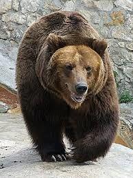 Obvestilo o prisotnosti rjavega medveda in volka v Triglavskem narodnem parku