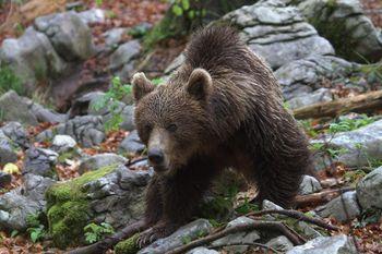 OPOZORILO - potencialno nevarna medvedka
