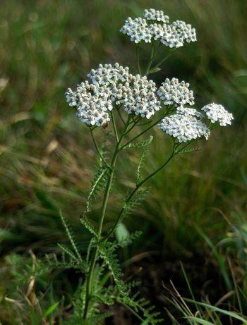 (Achillea millefolium) Rman