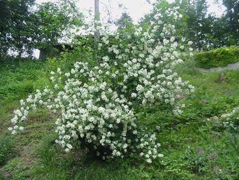 Jasmin, Tinktura iz jasmina (Jasminum nudiflorum)  50ml