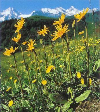 Tinktura iz arnike (Arnica montana)  50ml