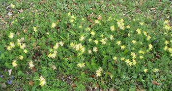 Mazilo iz ranjaka (Anthyllis vulneraria)   42ml