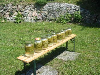 Sirup iz smrekovih vršičkov (Pinea)