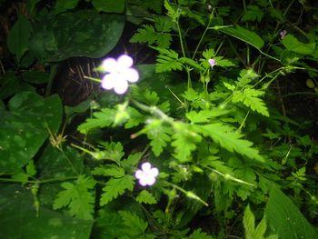 Tinktura iz krvomočnice  (Geranium robrtianum) 50ml       Zel za plodnost.