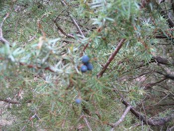 Tinktura iz brina (Juniperus communis)