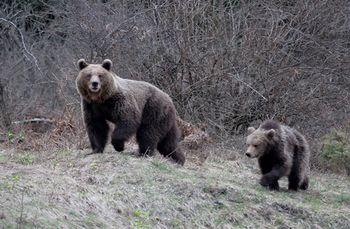 Lovci opozarjajo na bližnja srečanja z medvedom!