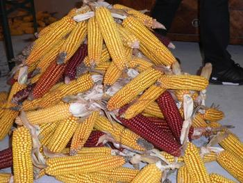 Ličkanje koruze v Bodeščah