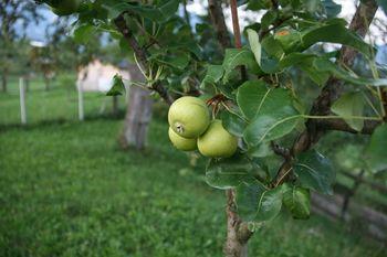 Akcija zasaditve novih dreves hrušk – tepk v Zasipu