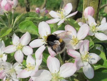 Spoznajmo čmrlje in čebele samotarke