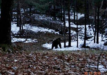 Medved v naših gozdovih