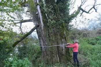 Topol ob Krki, najdebelejše drevo v občini