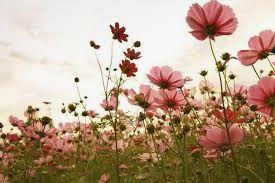 Cvetje - sopotnik praznovanj on nekdaj do danes