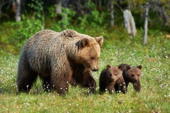 Medvedka z dvema mladičema na področju Dobena in Rašice