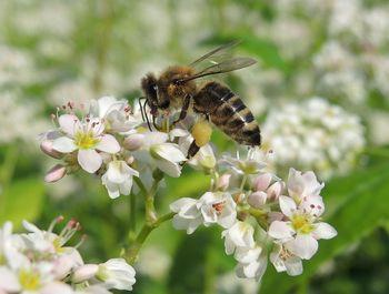 Zagotavljanje čebeljih paš in sajenje medovitih rastlin