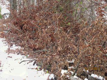 Podarjamo kvalitetne bukove in gabrove veje za kurjavo