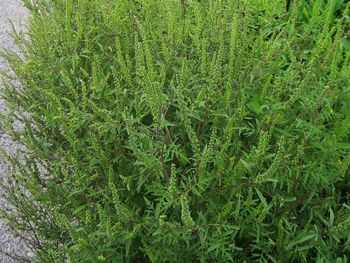 Poziv k zatiranju ambrozije – ena najbolj alergenih rastlin