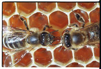 Čebelarjeva opravila