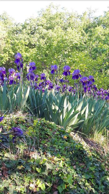 Cvetovi perunike krasijo Obelunec v maju