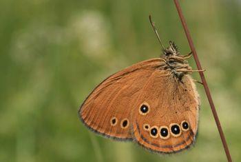 Doselili barjanskega okarčka, najbolj ogroženega metulja v Evropi