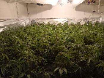 Vrhniški policisti zasegli 400 sadik konoplje