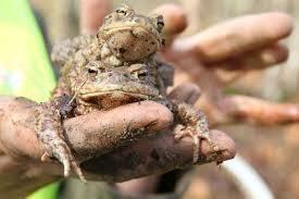 Prenašanje žab na Radenskem polju