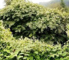 Odstranjevanje invazivnih rastlin